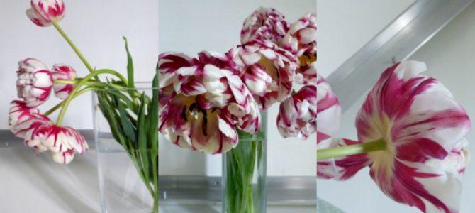 Ich kann nicht mehr leben ohne … Rembrandt-Tulpen